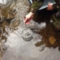 До водойм Карпатського природного парку випустили близько 15 тис. штук малька форелі