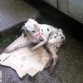 Врятований франківськими копами далматинець шукає господаря