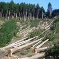 Прикарпатцеві грозить три роки позбавлення волі за три зрубаних дерева