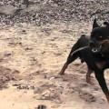 У Франківську бійцівський собака накинувся на дитину