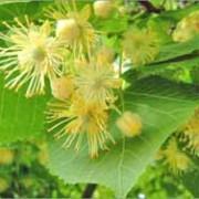 Мешканка Прикарпаття загинула, обриваючи липовий цвіт