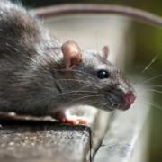 Мешканці Івано-Франківська потерпають від навали пацюків