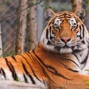В пекінському парку тигр викрав дівчину – вона не встигла зайти в авто (відео)