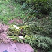 На Тисмениччині пенсіонери вирощували коноплю для курей