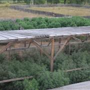 В Карпатах СБУ знайшла величезну плантацію коноплі (ФОТО)