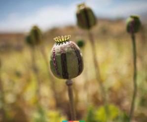 У мешканки Прикарпаття правоохоронці виявили близько півтисячі наркотичних рослин