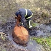 На Прикарпатті корова застрягла у болоті