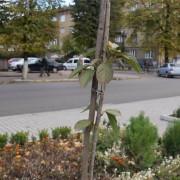Біля адмінбудинку Франківська висаджують алею сакур (ФОТО)