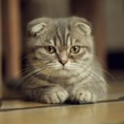 Вчені підтвердили здатність кішок до лікування людей