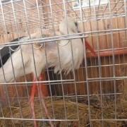 Прикарпатські ветеринари ампутували лелеці крило (ФОТО)