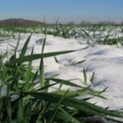 Цьогоріч на Прикарпатті посіяли на 4 тисячі гектарів більше озимини
