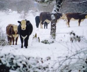 Селянин з-під Галича мордує холодом і голодом понад два десятки корів