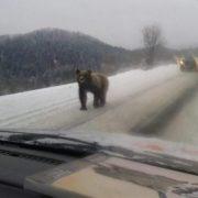 Поблизу Закарпаття ведмеді гуляють просто по дорогах