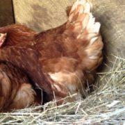 Вчені розгадали проблему курки та яйця