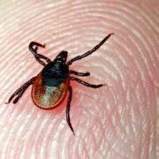 Небезпечний паразит: на Прикарпатті спостерігається ріст популяції кліщів