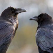 Іванофранківці просять владу вигнати ворон з парків