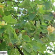 неймовірна краса! В Івано-Франківську на Вічевому майдані зацвіло тюльпанове дерево (фото)