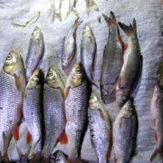 На Прикарпатті браконьєри наловили риби на майже 70 тисяч гривень (фото)
