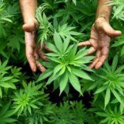 Стало відомо, де на Прикарпатті найчастіше вирощують марихуану