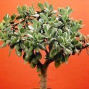 ВАРТО ЗНАТИ КОЖНОМУ! Товстянка – «Грошове Дерево» … Лікує чи отруює? Це повинні знати всі!