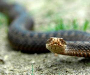 По зміях не ходити. На Франківщині бракує вакцини від укусів плазунів (ІНФОГРАФІКА)