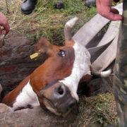 На Франківщині рятували корову, яка впала у колодязь