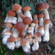 Фото просто вражають! В Україні аномальний врожай білих грибів (фото, відео)