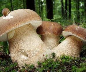 Білі гриби возять на базар мішками…