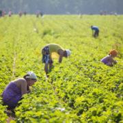 Від 12 до 50 тис. грн у місяць заробляють українці на сезонних роботах у Європі