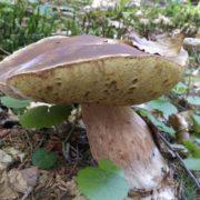 У Карпатах триває грибний сезон (фото)