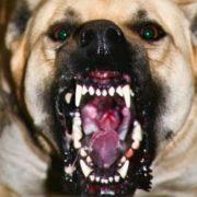 У Франківську бійцівський пес погриз людей та загриз на смерть три собаки