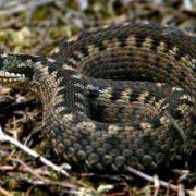 Змії відправили в лікарню трьох Прикарпатців
