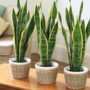 Ці рослини – кисневі бомби! Ось 6 кращих рослин, які ви повинні мати у власному домі