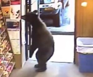Курйоз дня! На Алясці ведмідь зайшов у магазин і став розглядати стенд з цукерками (відео)
