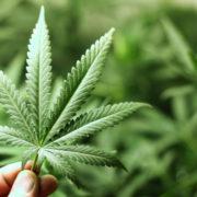 Іноземець зі спільниками незаконно вирощували нарковмісні засоби на території двох областей