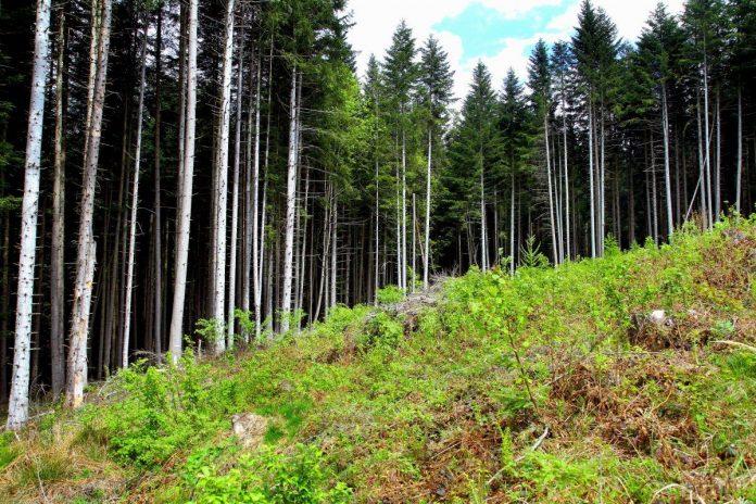 На Прикарпатті продовжують незаконно вирубувати ліс (відеосюжет)