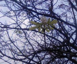 Аномалія. На Прикарпатті вдруге зацвіли каштани (фото)