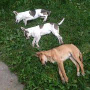 Люди звіріють: у вбивстві собак на Прикарпатті підозрюють вчительку. ФОТО