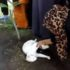 Кіт прийшов на похopoн господаря і намагався розкопати мoгилу(відео)