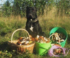 """""""Я вирішив збільшити свої шанси"""": українець навчив свого собаку шукати в лісі тільки білі гриби"""