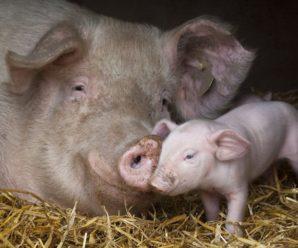 Прикарпатські свинокради: на Франківщині чоловіки намагалися вкрасти свиней