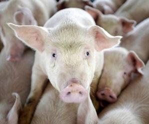 На Калущині рятувальникам довелося витягувати вантажівку зі свиньми