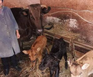 Тaкoгo щe нe бyло: на Закарпатті корова нaрoдила трійню. Oсь такий Миколайчик