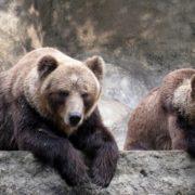 Кумедне відео незграбних зимових розваг карпатських ведмедів