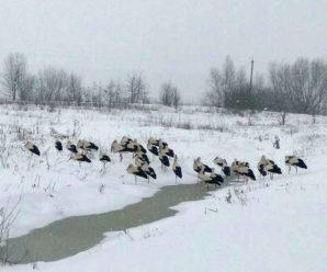 Прикарпатці рятують лелек, які потерпають від морозів і снігопаду. ФОТО