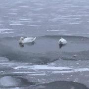 Небайдужі люди врятували пару лебедів на Німецькому озері (фото)