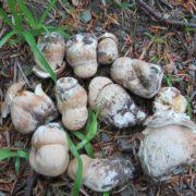 На Прикарпатті грибники відкрили сезон: білі гриби збирають поблизу Косова. ФОТО