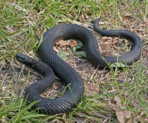 На Прикарпатті жінку вкусила змія