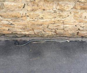 У місті на Львівщині жінку біля житлового будинку вкусила змія