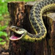 На Прикарпатті двоє людей потрапили до реанімації через укус змії